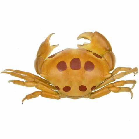Crabe à pois rouge carpilius naturalisé