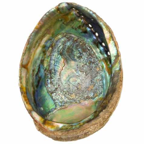 Coquillage haliotis abalone fossile - 18.5 cm