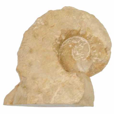 Ammonite fossile - 17 cm