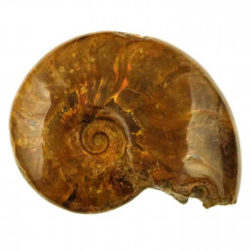 Ammonite fossile - 458 grammes