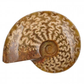 Ammonite fossile - 154 grammes