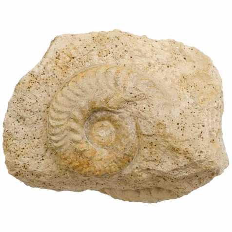 Ammonite fossile cardioceras sur gangue - 521 grammes