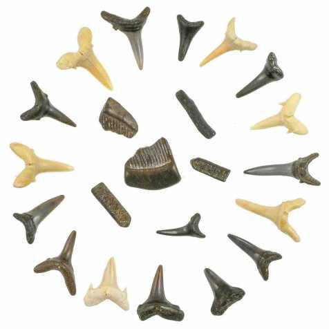 Dents de raie et de requin fossile - 1.5 à 2.5 cm - Lot de 22