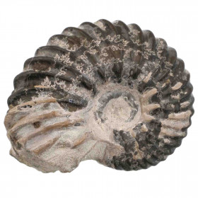 Ammonite fossile - 31 grammes