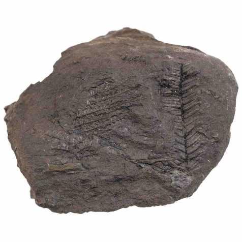 Fougère fossile sur gangue - 370 grammes