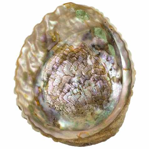 Coquillage haliotis abalone - 15 cm
