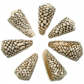 Coquillage conus marmoreus - 6 à 8 cm - Lot de 2
