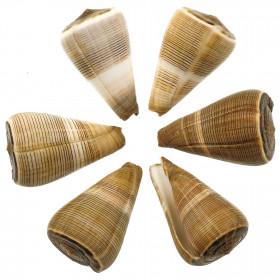 Coquillage conus figulinus - 7 à 9 cm - Lot de 2