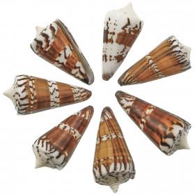Coquillage conus generalis - 5 à 7 cm - Lot de 3