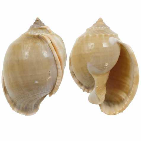 Coquillage cassis phalium glaucum