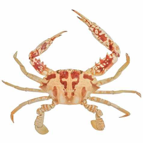 Crabe de San Francisco naturalisé