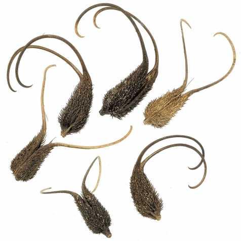Gousses décoratives de proboscidea ou cornes du diable - Lot de 4