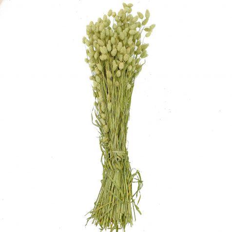 Bouquet fleurs séchées phalaris - 70 cm