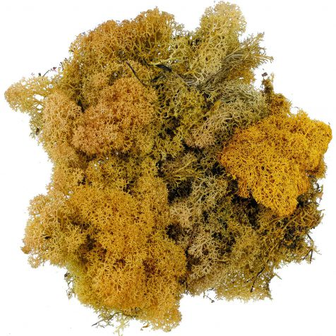 Lichen des rennes stabilisé ocre-vert - 120 grammes